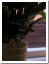karacsonyi_kaktusz (3)