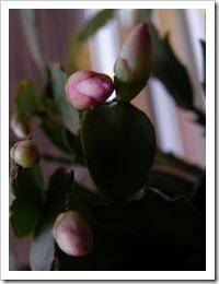 karacsonyi_kaktusz (4)
